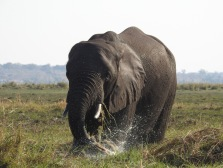 116_Chobe Elefant
