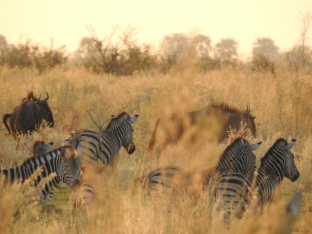 Zebras und Gnus in der Abendsonne