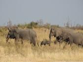 Elefanten im Okavango