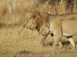 72_Löwenpaar