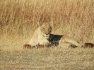 74_Löwenpaar