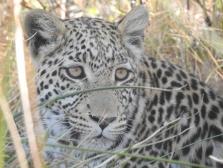 89_Leoparden