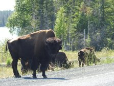 Big Bull im Bison Sanctuary